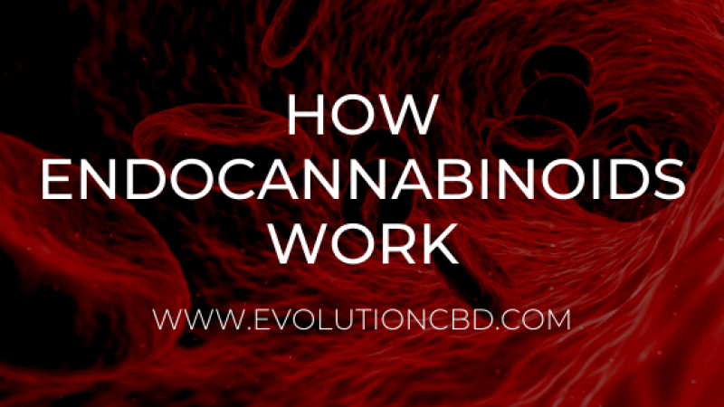 How Endocannabinoids Work - The Endocannabinoid System Explained